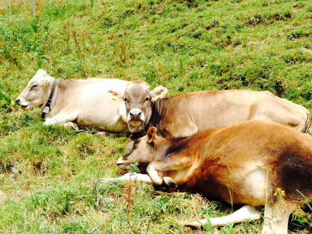 Relaxing swiss cow style. These ladies sisters almost nudged me off my trail.